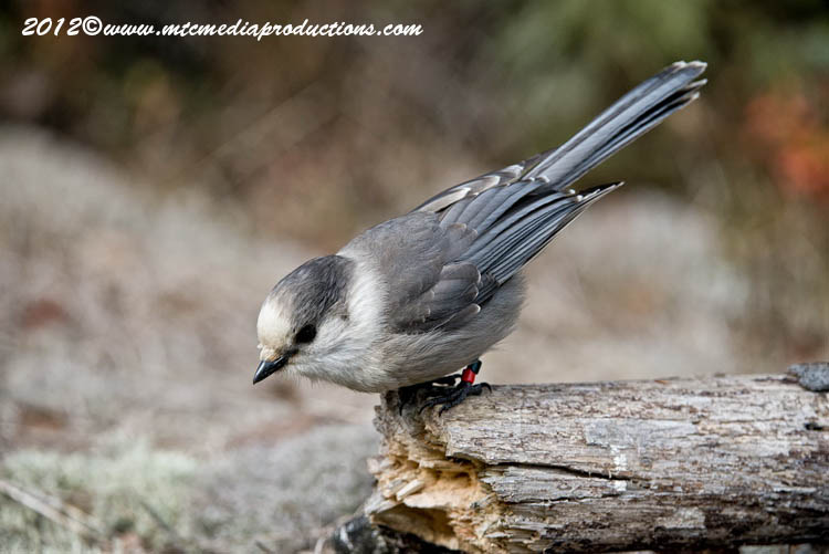Gray Jay Picture-324