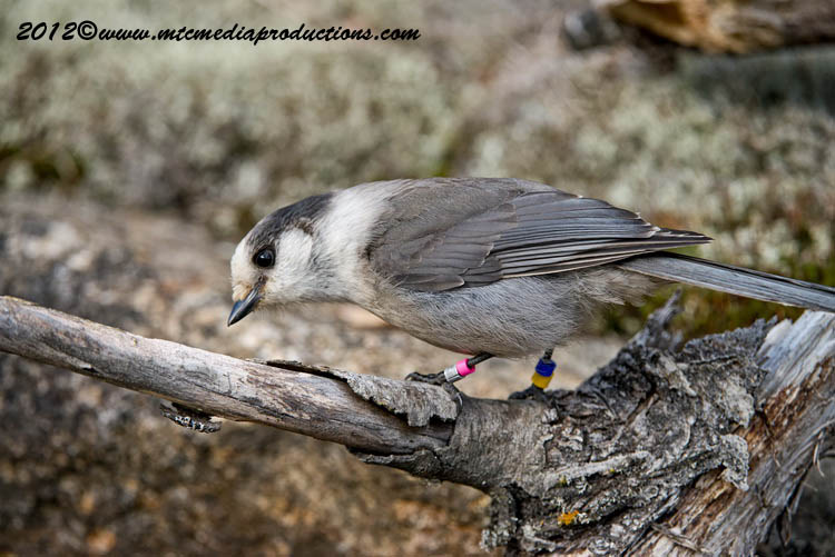 Gray Jay Picture-325