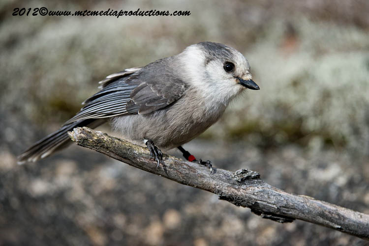 Gray Jay Picture-326