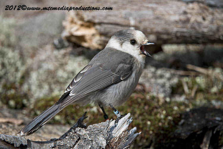 Gray Jay Picture-327