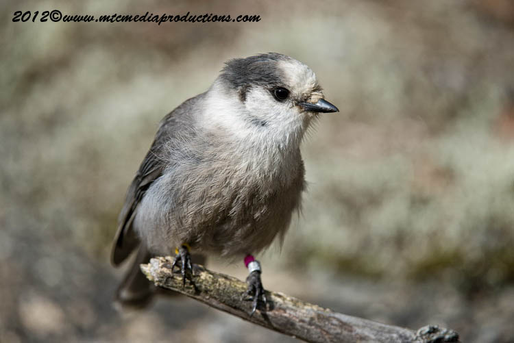 Gray Jay Picture-328