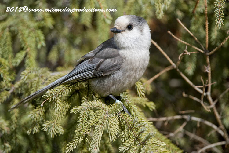 Gray Jay Picture-329