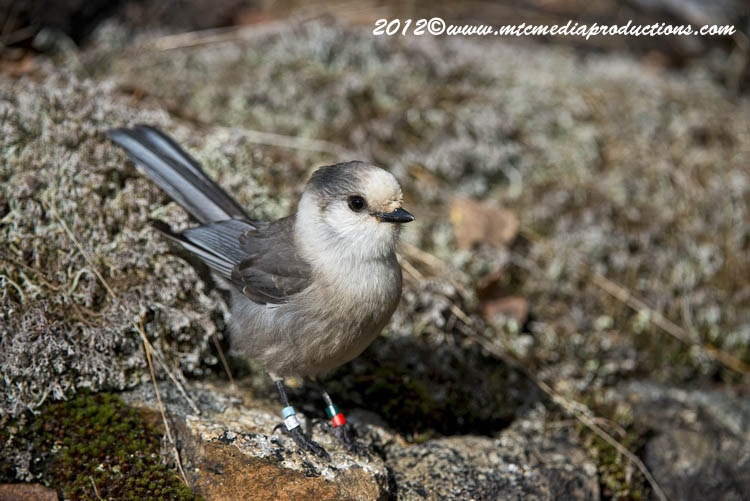 Gray Jay Picture-330
