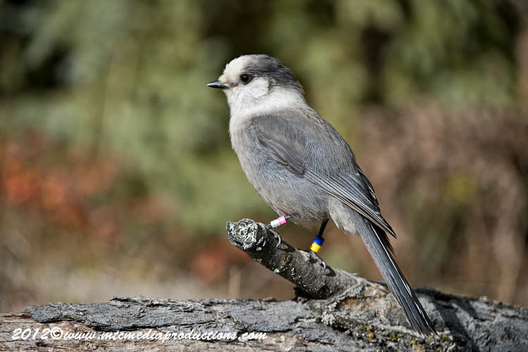 Gray Jay Picture-331