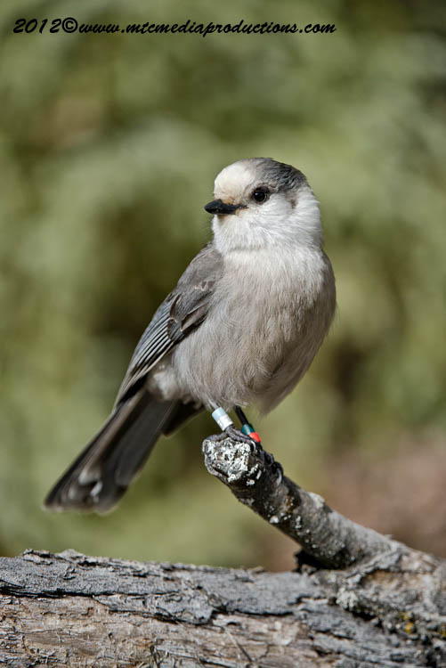 Gray Jay Picture-332