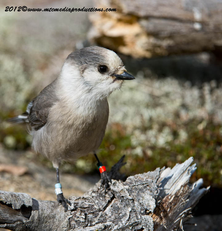 Gray Jay Picture-333