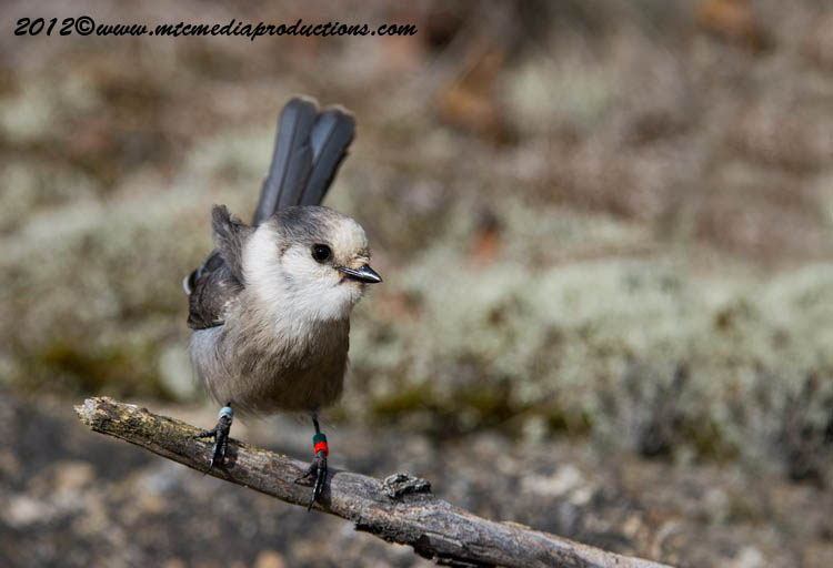 Gray Jay Picture-334