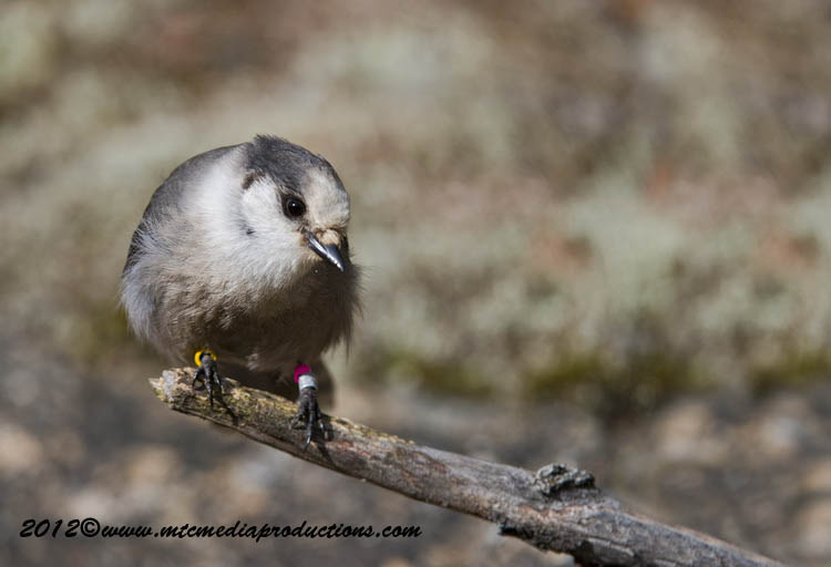Gray Jay Picture-335