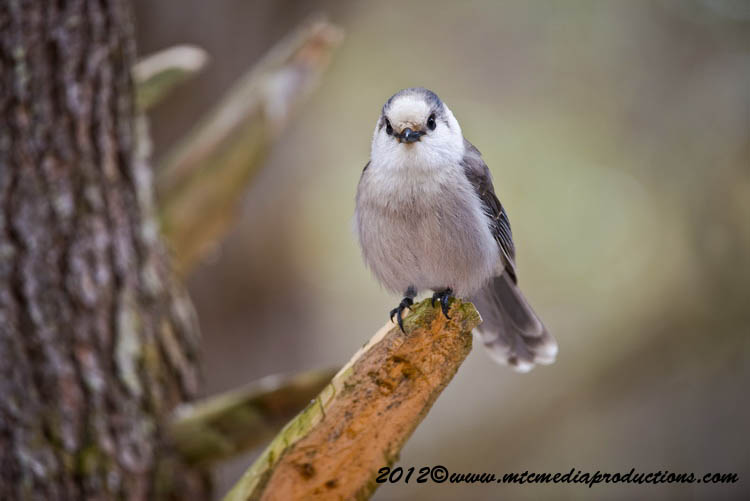 Gray Jay Picture-336