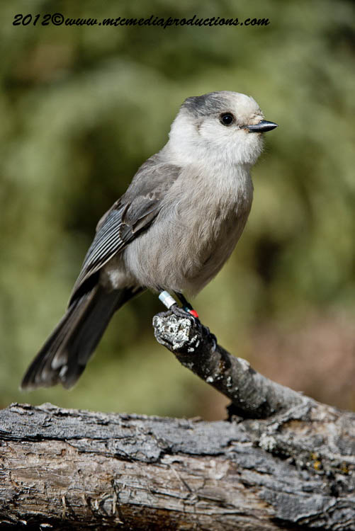 Gray Jay Picture-337