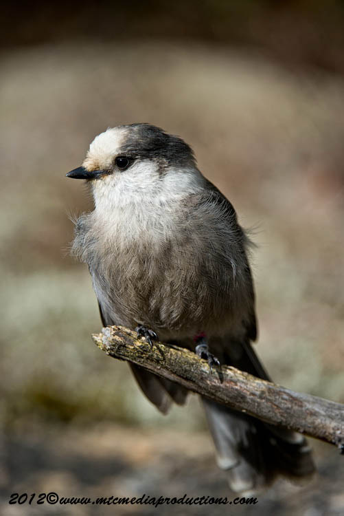 Gray Jay Picture-338