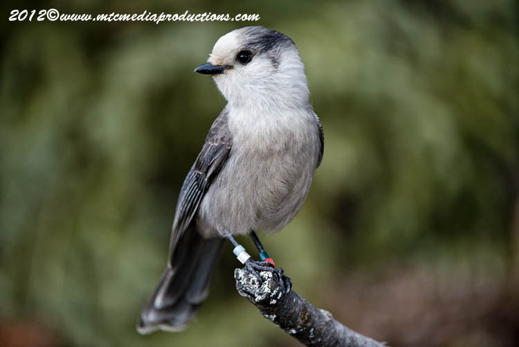 Gray Jay Picture-339