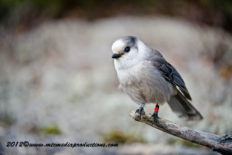 Gray Jay Picture-340