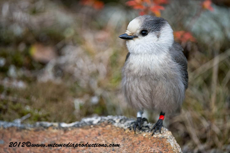 Gray Jay Picture-341