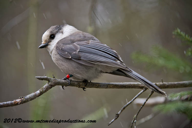 Gray Jay Picture-346