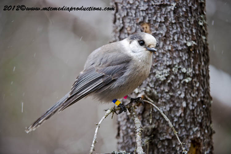 Gray Jay Picture-347