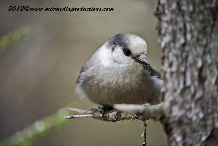 Gray Jay Picture-348