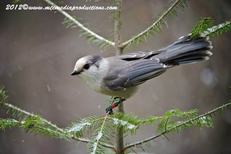 Gray Jay Picture-349
