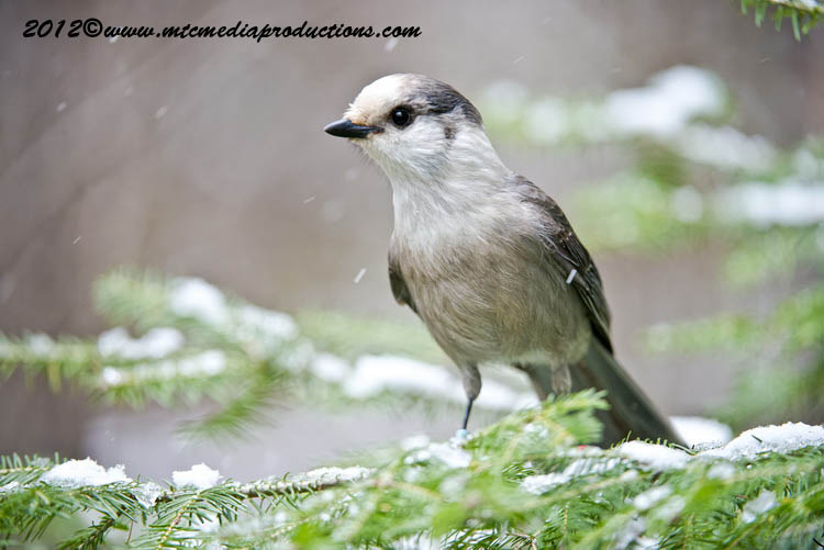 Gray Jay Picture-350