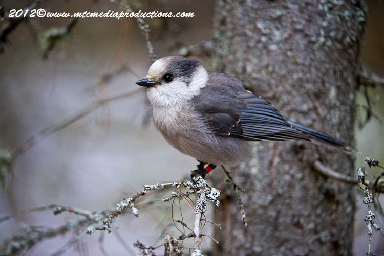 Gray Jay Picture-352