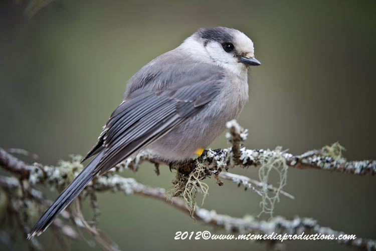 Gray Jay Picture-353