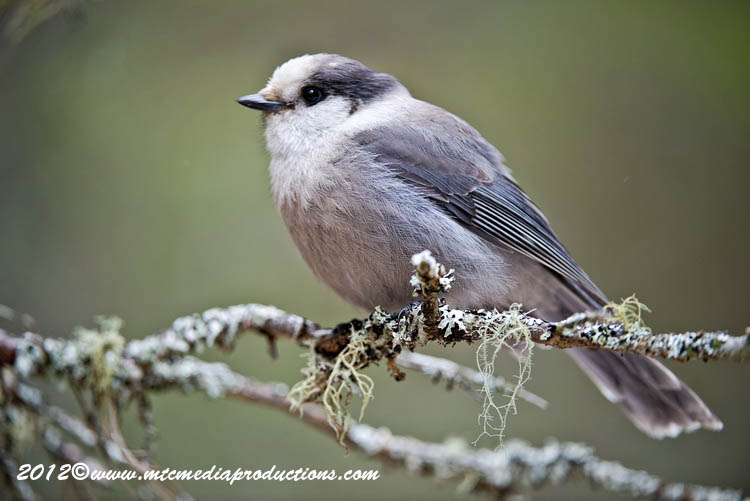 Gray Jay Picture-354