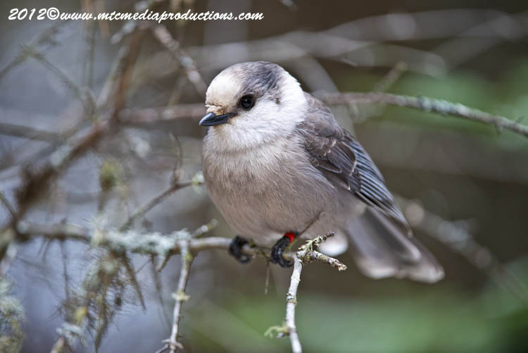 Gray Jay Picture-355