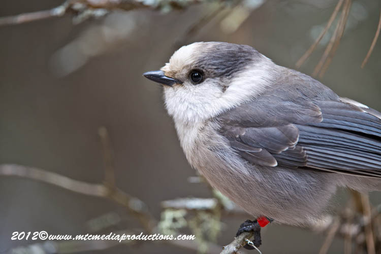 Gray Jay Picture-356