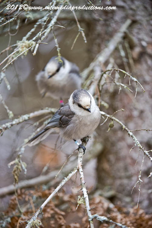 Gray Jay Picture-357