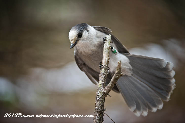 Gray Jay Picture-358