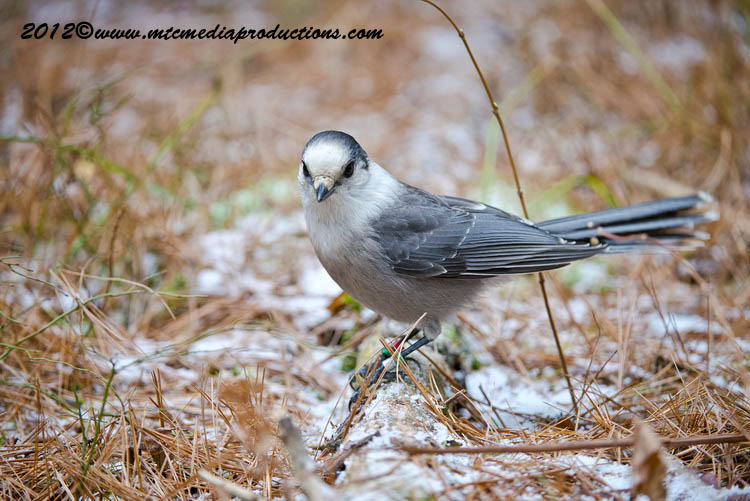 Gray Jay Picture-359