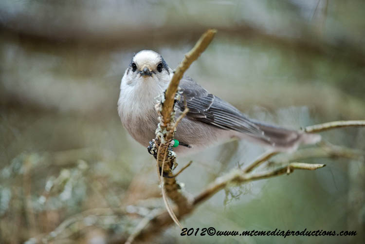 Gray Jay Picture-360