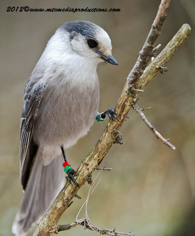 Gray Jay Picture-361