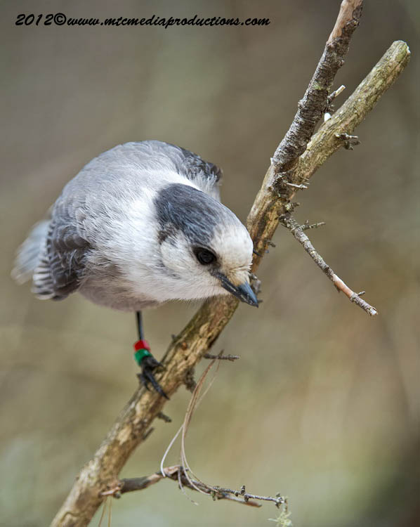Gray Jay Picture-362