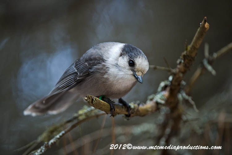 Gray Jay Picture-363