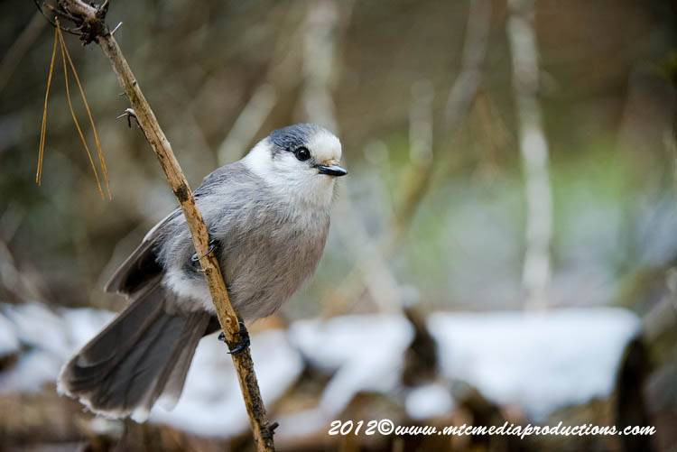 Gray Jay Picture-364