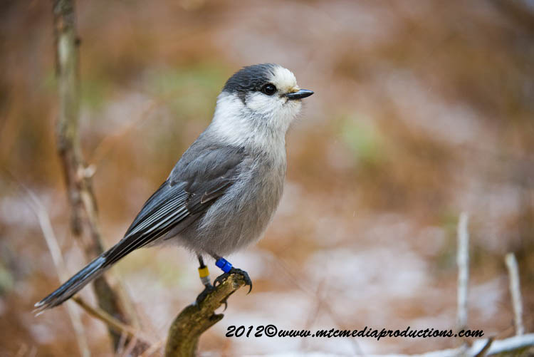 Gray Jay Picture-365