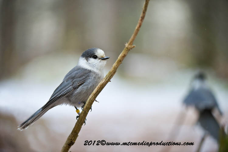 Gray Jay Picture-366