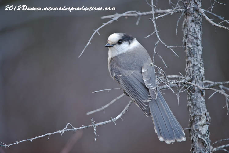 Gray Jay Picture-367