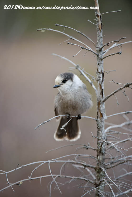 Gray Jay Picture-368
