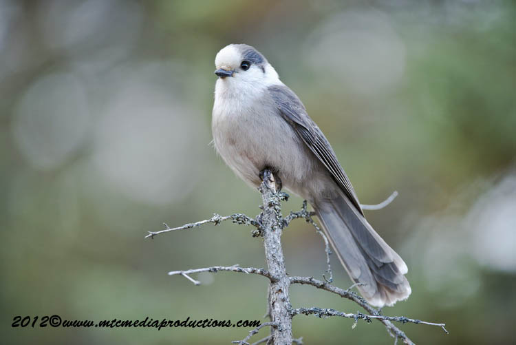 Gray Jay Picture-369