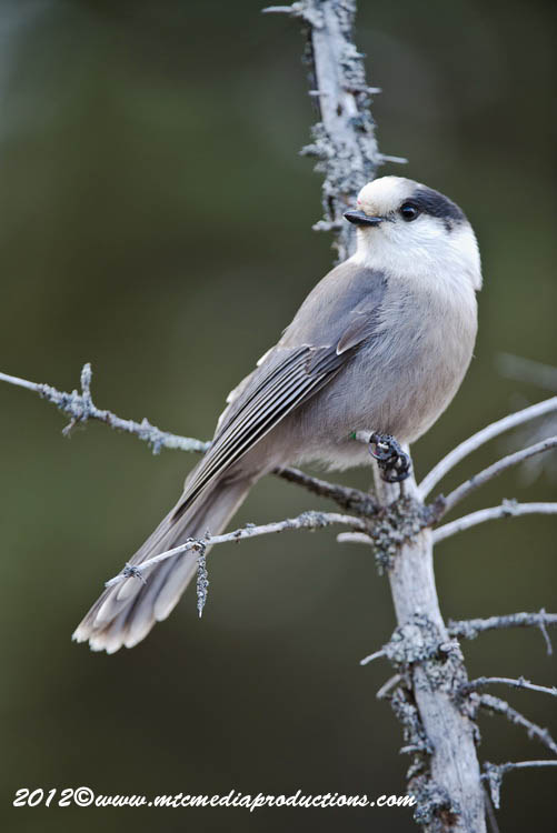 Gray Jay Picture-370