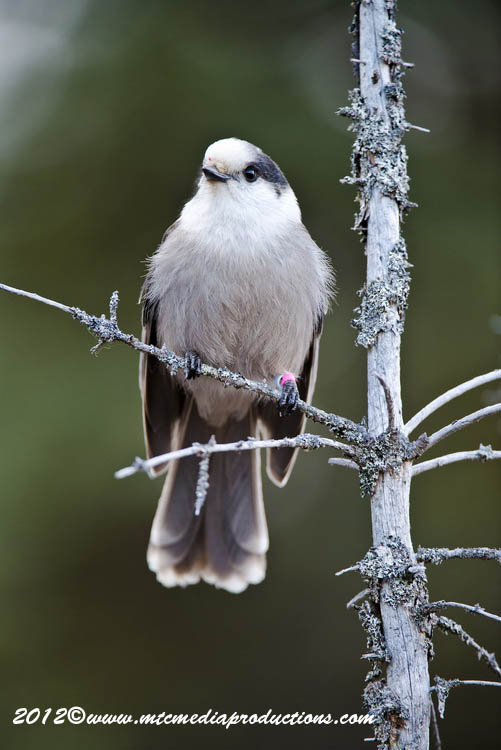 Gray Jay Picture-371