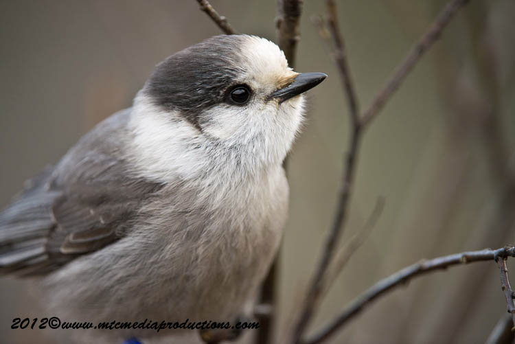 Gray Jay Picture-372