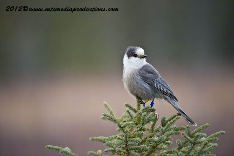 Gray Jay Picture-373