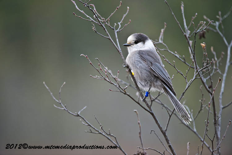 Gray Jay Picture-374