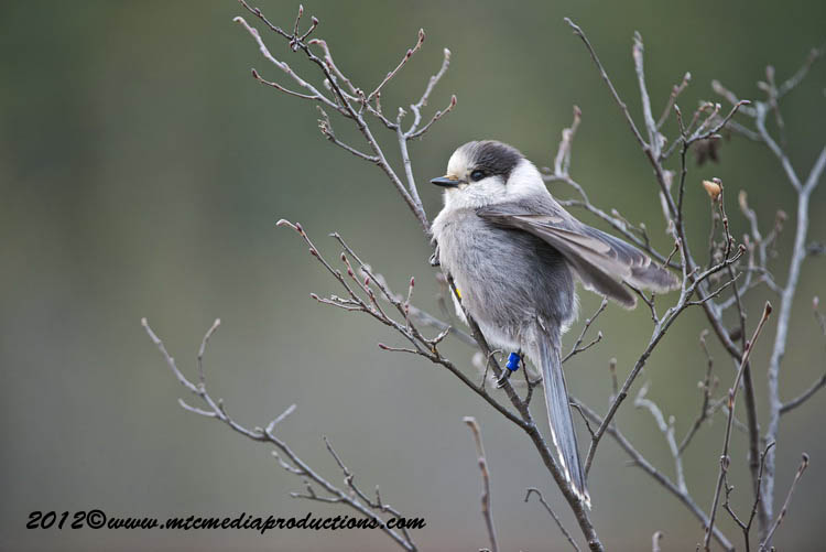 Gray Jay Picture-375