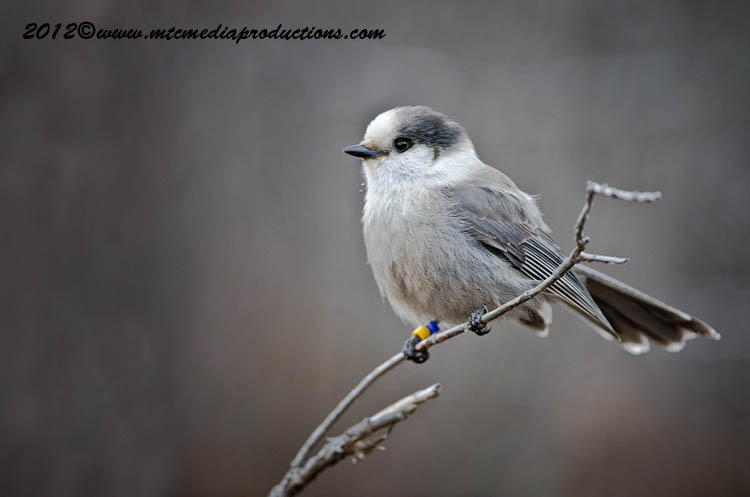 Gray Jay Picture-376