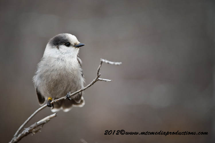 Gray Jay Picture-377