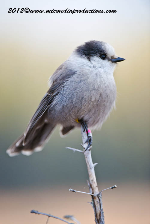 Gray Jay Picture-378